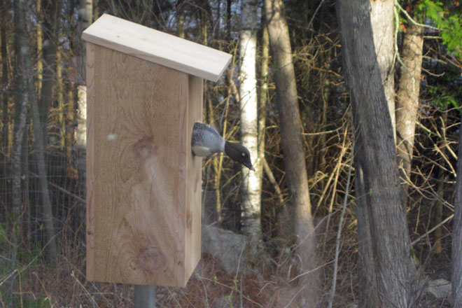 Goldeneye Leaving Nest Box